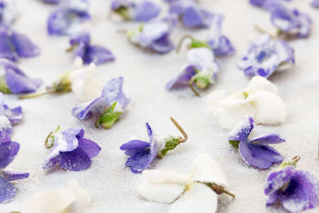 Candied sugared violet flowers drying on parchment paper
