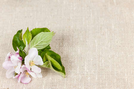 Woven linen background with spring apple blossom