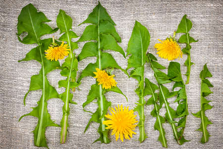 Arrangement of fresh dandelions greens and flowers on linen fabric background