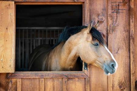 Nieuwsgierig bruin paard kijkt uit stabiel venster