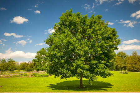 Large single maple tree on sunny summer day in green field with blue sky