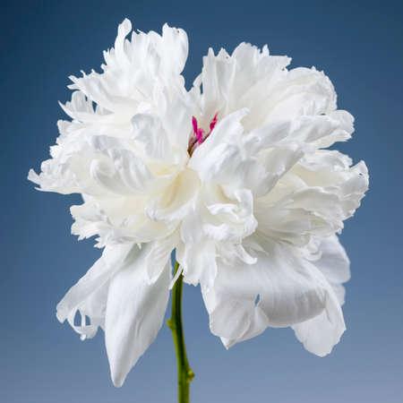 Studio closeup shot of one white peony flower on blue background