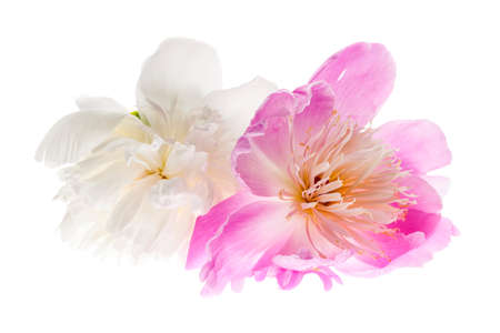 Two peony flowers isolated on white background