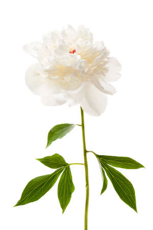 One isolated white peony flower with stem and leaves