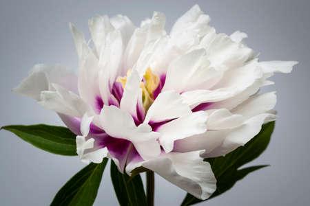 Studio closeup shot of one white and purple peony flower on gray background