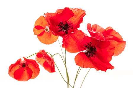 Several red poppy flowers isolated on white