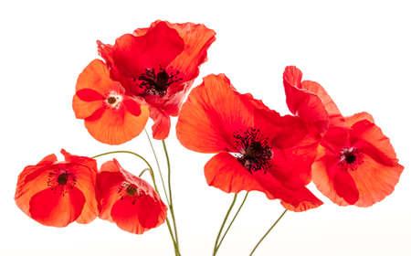 白い背景に、スタジオ撮影に分離されたいくつかの赤いケシの花