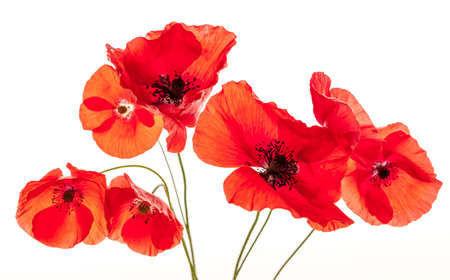 Several red poppy flowers isolated on white background, studio shot