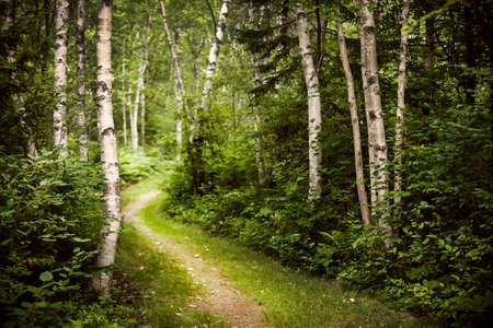Hiking trail in lush green summer forest with white birch trees Stok Fotoğraf