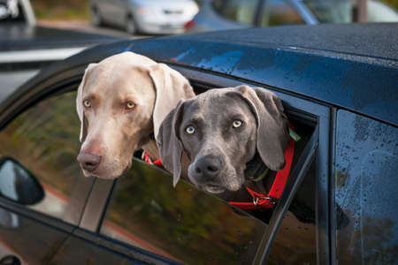 Two weimaraner dogs looking out of car window in parking lot 스톡 콘텐츠