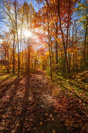 Sun shining through colorful leaves of autumn trees in fall forest and hiking trail at Algonquin Park, Ontario, Canada. Фото со стока