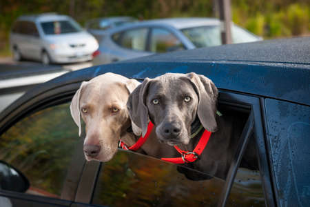Two weimaraner dogs looking out of car window in parking lot Standard-Bild