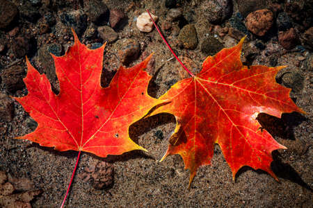 Two red fall maple leaves floating in shallow lake water with rocks on bottom