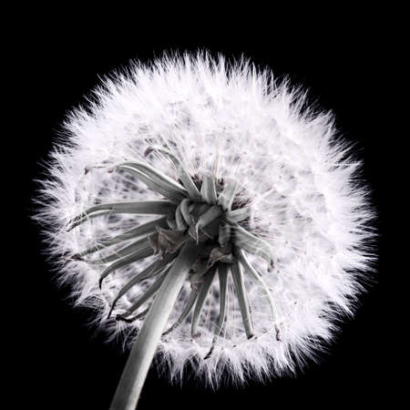 Dandelion seed head close up in black and white Reklamní fotografie