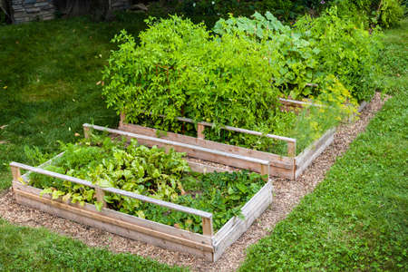 Three raised garden beds growing fresh vegetables in a backyard Imagens - 36111270