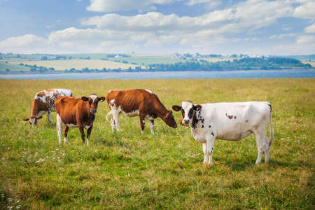 Herd of Ayrshire cows grazing in farm field at Prince Edward Island, Canada. Stock Photo