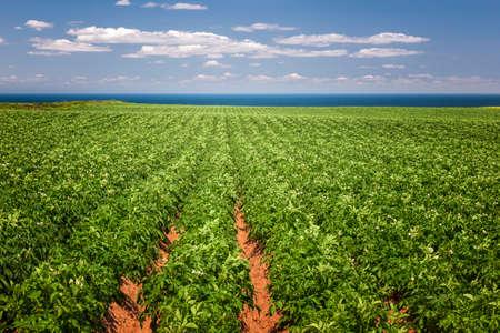 Des rangées de plants de pommes de terre poussent dans grand champ de ferme à l'Île du Prince-Édouard, Canada Banque d'images - 36373260