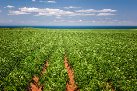 Rows of potato plants growing in large farm field at Prince Edward Island, Canada