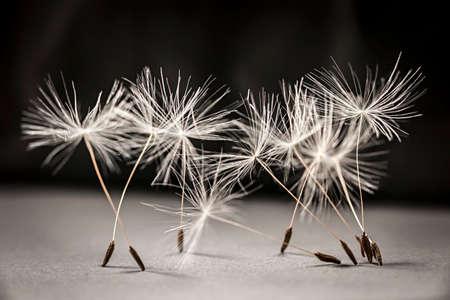 Macro closeup of dandelion seeds standing up on gray and black background Foto de archivo