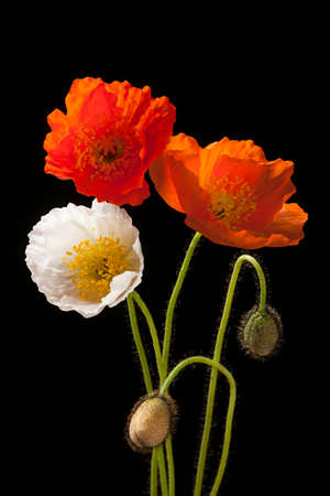 Red, orange and white poppy flowers with buds on black background Imagens - 37405532