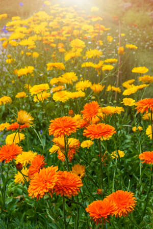 Yellow and orange medicinal calendula flowers growing in garden outside