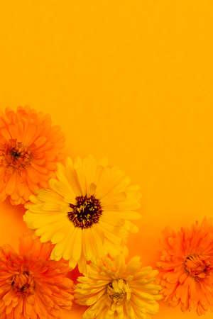 Several fresh medicinal calendula or marigold flowers arranged on orange background with copy space Zdjęcie Seryjne