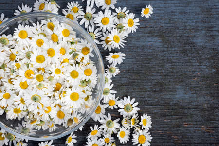 Fresh medicinal roman chamomile flowers in bowl on blue rustic wooden background with copy space