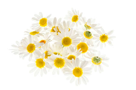 Pile of fresh medicinal roman chamomile flowers isolated on white background Foto de archivo