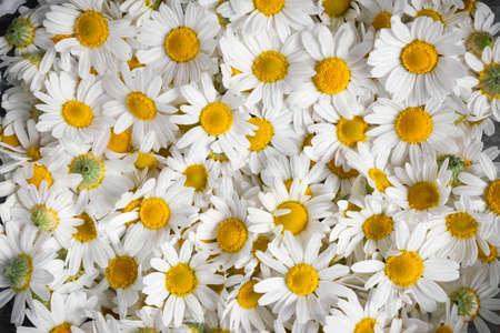 Background of fresh medicinal roman chamomile flowers