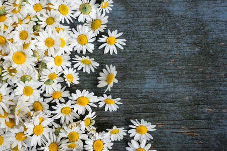 Fresh medicinal roman chamomile flowers scattered on blue rustic wooden background with copy space