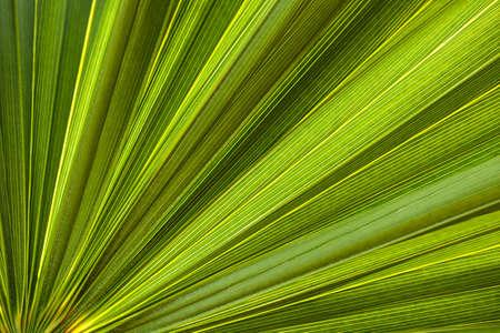 Closeup on green tropical palm tree leaf texture