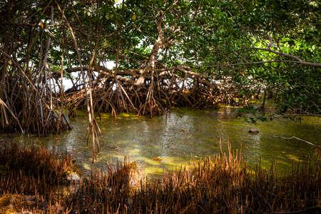 Mangrove bomen en moeras in de buurt van de oceaan kust bij Florida Keys