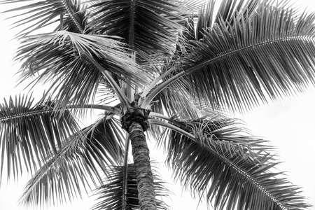 黒と白で曇り空を背景にヤシの木の上