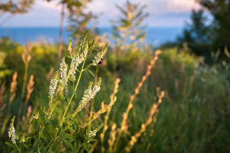 Wildflowers and bee backlit by setting sun in grassy meadow on top of coastal cliffs. Lake Ontario, Canada.