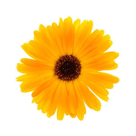 Één verse calendula bloem op een witte achtergrond weergave van bovenaf
