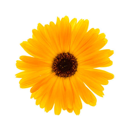 上から白い背景ビュー上で分離 1 つの新鮮なキンセンカの花 写真素材