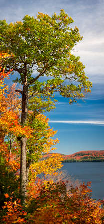 Tall oak tree on autumn lake shore and colorful fall forest, vertical panorama. Algonquin Park, Canada. Фото со стока