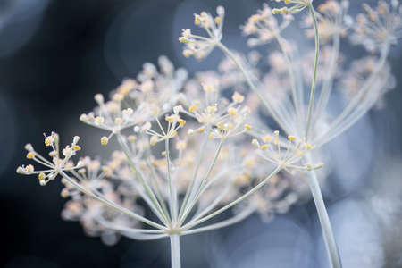 정원에서 자라는 꽃 딜 허브 클러스터 꽃의 매크로 근접 촬영 스톡 콘텐츠