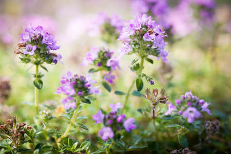 Purpere bloemen van thymekruid in de zomertuin, macroclose-up.