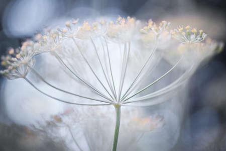 Macro closeup of flowering delicate dill herb cluster flowers growing in garden
