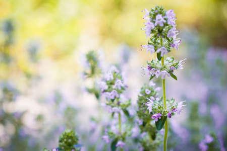 Flowers of thyme herb in sunny summer garden, macro closeup. Standard-Bild