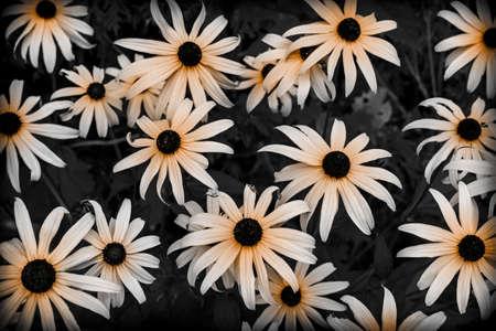 정원에서 블랙 아이드 수잔 꽃을 닫습니다. 선택적 색상.