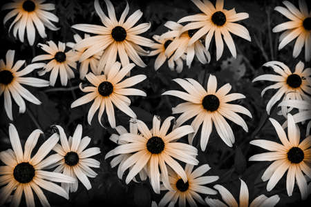 Black Eyed Susan flowers in garden close up. Selective colour.
