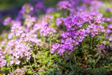 여름 정원, 매크로 근접 촬영에서 백 리 향 허브의 보라색 꽃.