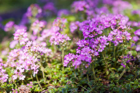 Purple flowers of thyme herb in summer garden, macro closeup.