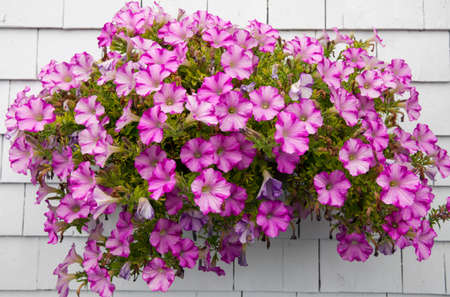 Pink petunia flowers in hanging basket decorating white wall of a house. Bonaventure, Gaspe Peninsula, Quebec, Canada.