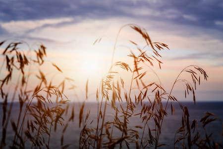 Tall grass stalks closeup against setting sun over sunset lake and sky Standard-Bild