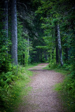 Path winding through dark moody forest with tall old trees
