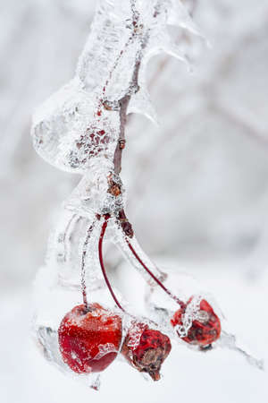 Three red crab apples on branch frozen with ice in winter, close up