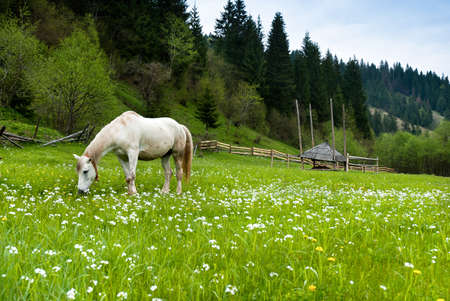 Stallion grazing in a pasture at the foot of the Carpathians mountains  photo